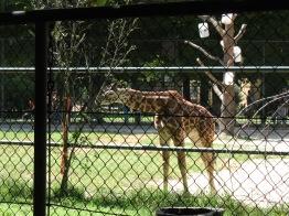 """""""Mała"""" żyrafa"""